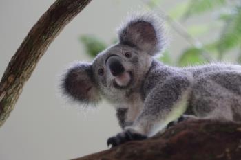 Image 3_Idalia the koala_WRS